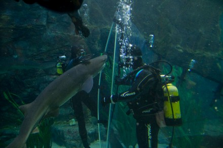 Aquarists lead a shark into a sock bag to transport it from the main oceanarium into the smaller lock area. Photo courtesy of Alison Edmunds.